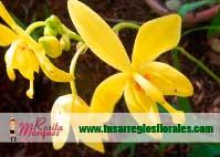 Arreglo-orquidea-Spathoglottis