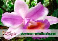 orquidea-Sobralia